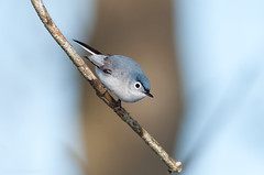 Blue-gray Gnatcatcher (Kelly Colgan Azar) Tags: usa breeding april delaware bluegraygnatcatcher polioptilacaerulea castlecounty