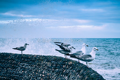 Gulls and spray (barbara.jackson55) Tags: sea seagulls water birds brighton gulls seaspray