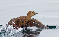 King Eider (female) in flight - almost