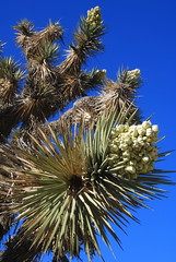 Joshua Tree (Yucca brevifolia) in bloom, Cameron, PCT, California (Damon Tighe) Tags: california ca mountains flower america spring pacific north crest trail backpacking flowering pct tehachapi yucca brevifolia