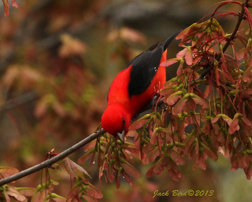 Scarlet Tanager By Jack Bird