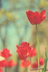 Spring Days.... (JLC Photography Spokane,WA) Tags: lighting flowers blue trees red sky nature floral beautiful canon 50mm washington spring warm spokane tulips bokeh photoaday april 365 f18 springday