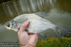 Bream - Abramis brama (puffinbytes) Tags: greatbritain england animals unitedkingdom carps bream eastsussex animalia minnows cyprinidae cypriniformes chordates chordata actinopterygii rayfinnedfishes abramis abramisbrama taxonomy:kingdom=animalia taxonomy:phylum=chordata taxonomy:class=actinopterygii taxonomy:family=cyprinidae taxonomy:order=cypriniformes leuciscinae spb:country=uk spb:lid=00ao spb:id=01f5 spb:species=abramisbrama spb:pty=f taxonomy:subfamily=leuciscinae taxonomy:genus=abramis taxonomy:species=brama taxonomy:binomial=abramisbrama taxonomy:common=bream spb:pid=0r3f