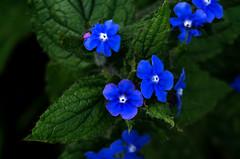 Blue (Cobalto :)) Tags: flowers blue naturaleza plant planta colors flor