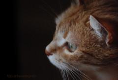 ariannaOsserva (fla via) Tags: pets beautiful animal cat ginger nikon chat katze arianna gatto katzen mascota kater kats   micio    nikond80 bestofcats impressedbeauty