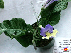 Exhibition of African Violets & other Gesneriads - Streptocarpus 'Harlequin Blue' C20130420 227 (fotoproze) Tags: flowers flores fleurs blumen fiori  blommor bungabunga bloemen blomster kwiaty hoa  flors africanviolets loreak blm iek saintpaulia blodau   flori  gesneriads kvtiny   virgok kvety kukat cvijee  cvetje    blthanna