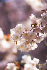 Blooming Sakura (Julian.Fisher) Tags: sunshine japan canon petals spring blossom   sakura nara