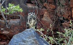 Great Horned Owl !! ♥ ♥ (Narasimhan.N) Tags: ngc owl chennai horned allofnatureswildlifelevel1