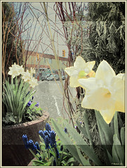 Pale Daffodils (Tim Noonan) Tags: street flowers light urban texture digital photoshop branches pale hue shining daffodils mellow hypothetical vividimagination artdigital greenscene shockofthenew stickybeak sharingart awardtree maxfudgeawardandexcellencegroup exoticimage richeyesgallery netartii digitalartscenepro vividnationexcellencegroup