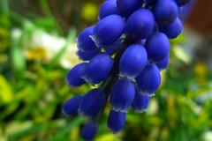Grape Hyacinth [120/365] (eskayfoto) Tags: life flowers flower color colour macro nature colors oneaday gardens closeup bluebells bells garden lumix petals spring colorful colours close natural bell gardening vibrant grow vivid petal panasonic soil grapes photoaday bloom april layer flowering growing 365 colourful grape hyacinth springtime day120 pictureaday muscari vibrance grapehyacinth project365 tepal sooc tepals lx3 project365120 day120365 3652013 365the2013edition 30apr13 project365043013 project36530apr13