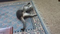 Millie Video 25c, 26 April 2013 MVI_3792 (edgarandron - Busy!) Tags: cats cute cat feline tabby kitty kitties tabbies millie graytabby