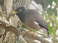 Common myna (Marie Hale) Tags: mynah