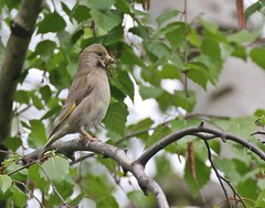 Carduelis chloris (John R01) Tags: trees tree green bird nature leaves birds animal animals female leaf spring nest wildlife greenfinch animalia carduelischloris nesting europeangreenfinch carduelis zvonek grnfink zvonekzelen