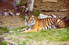 Tiger (StinaOstlund) Tags: newzealand cute zoo tiger auckland nz mysterious sneaking nyazeeland