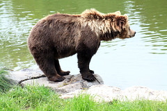 Br (-Julia_) Tags: bear brown green beautiful grass animal canon outside photography eos photograph teich br braunbr 1100d