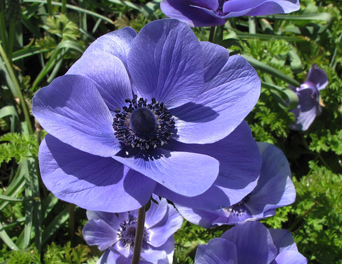 Poppy Anemone At Longwood Gardens