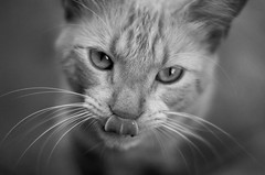 cat get your tongue? (timsnell) Tags: blackandwhite cute southamerica animal tongue cat venezuela lick depthoffield coro