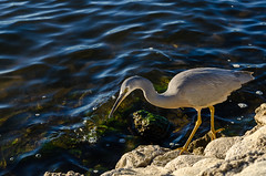 Bird (mverdon) Tags: bird river fishing nikon australia perth d7000