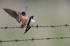 Barn Swallows-42591.jpg (Mully410 * Images) Tags: bird birds wire birding barbedwire swallow birdwatching birder barnswallows tcaap ahats tcaapwva