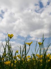 Blackheath buttercups (Spannarama) Tags: uk sunlight london grass sunshine clouds blackheath heath blueskies buttercups ratseyeview