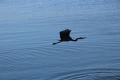 IMG_9091 (armadil) Tags: california sunset bird beach heron birds flying beaches greatblueheron mavericks californiabeaches