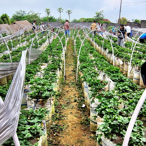 """One of a few strawberry farms on the way to Bedugul. Our driver, Pak Bagus told us to not buy cause they're """"expensive"""" - 1 kg for $6  (price for 6-7pcs of strawberries in Brunei hahaha) #maurinatravelsolo2013"""