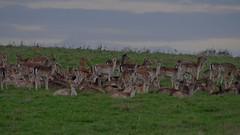 1061-15L (Lozarithm) Tags: nt deer k50 dyrham gloucs 55300 pentaxzoom hdpda55300mmf458edwr