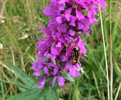 Zweefvlieg op de bloemen van de kattestaart (Fijgje On/Off) Tags: wildebloemen wildflowers insect zweefvlieg hoverfly bloemen flowers fijgje natuur nature appleiphone5s iphone5sbackcamera415mmf22 juli2016