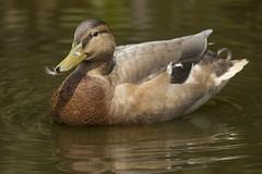 Eend - Blijdorp (Jan de Neijs Photography) Tags: eend blijdorp rotterdam zoo dierentuin vogel bird tamron tamron150600