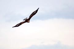 eagle (Wolfgang Binder) Tags: eagle bird animal steinadler nikon d7000 sky flying