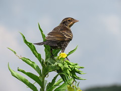 Female red-winged blackbird along the Mississippi River (JJP in CRW) Tags: birds leclaire iowa mississippiriver