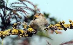 House Sparrow (NickWakeling) Tags: housesparrow sparrow norfolk nature northnorfolk norfolkwildlifetrust canon60d cleymarshes cleynextthesea sigma150600mmf563dgoshsmcontemporary