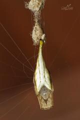 Scorpion Tailed Spider (Atul Vartak) Tags: arachnura araneidae orbweaver mimicry scorpion eggsac