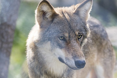 Grey wolf (Helen Lundberg Photography) Tags: wolf varg canislupus animal eurasia sweden swedish predator wildanimal mammal outdoor greywolf gray scandinavia europe norrland northofsweden