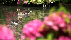 Hortens'oies (MBM phARTographie) Tags: hortensias oies oiseaux canards animal animaux faune flore fleurs lac eau riviere nature bokeh sony tamron gansos aves patos animales fauna flora flores lago agua ro naturaleza rose hortensien gnse geflgel enten tier tiere tierwelt blumen see wasser fluss natur ortensie oche pollame anatre animale animali natura fiori acqua fiume hydrangeas geese birds ducks animals wildlife flowers lake water river