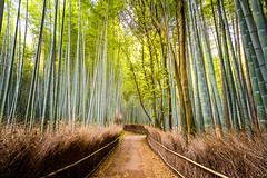Bamboo Forest (José Miguel Serna) Tags: 2016 japan japón josemiguelserna kyoto arashiama bamboo landscape beautiful light forest illumination canon arashiyama asia rgraffiks japanese nature travel trip spring primavera bambooforest bamboogrove 京都 kioto kōkyo