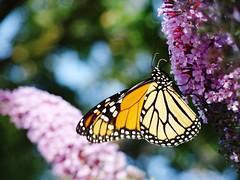 embrace (Lovely Pom) Tags: butterfly flower embrace hugs kisses love