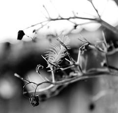Feather.. (LamiaDeTenebris) Tags: bw sw schwarzundweis schwarzweis blackandwhite blackwhite nature natur tree feather feder baum ast zweig branch garden garten bokeh schwarweiss trees