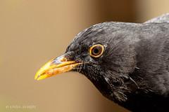 Blackbird with lunch! (Linda Martin Photography) Tags: dorset male wildlife turdusmerula nature birds canon5dmarklll uk blackbird
