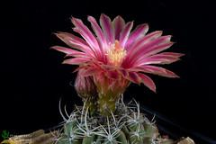 Neoporteria heinrichiana (clement_peiffer) Tags: neoporteria heinrichiana flowerscolors d7100 105mm nikon cactus fleurs flower