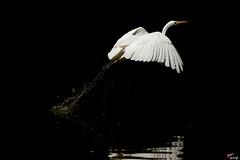 Airone bianco (LightRapsody) Tags: airone bianco volo decollo acqua riflessi