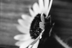 (laura_rivera) Tags: film 35mmfilm leica r6 60mmelmarit macro black white blackandwhite laurarivera sunflower flower kodak trix bwfp