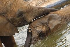 Noah's Ark 2016 Elephants (Bongo Jiggy) Tags: bristol zoo noahsark 2016 farm elephants water squirting
