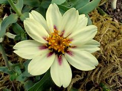 Zinnia 'Zahara Starlight Rose' (bugldy99) Tags: plant flower zinnia blossom nature outdoors