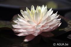 DSC_7896 (Waterlelie.be) Tags: 2012 bethel noordamerika nymphaea nymphaeaawesome ohio tonymoore verenigdestatenvanamerika