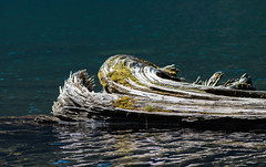 Bobbing Knob (Dreams of Evergreens) Tags: lake water blue log moss floating bobbing glassy wood