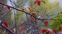 Rain 20141020 (caligula1995) Tags: 2014 plumtree rain
