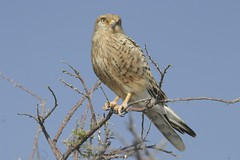 Greater kestrel (Falco rupicoloides) (www.clivetemple.com) Tags: raptor kestrel falcon bird birds nature etosha namibia africa
