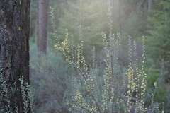 Camp Sherman (Tony Pulokas) Tags: campsherman oregon metoliusriver forest tree pine ponderosapine blur tilt bokeh spring oldgrowth purshia antelopebitterbrush bitterbrush antelopebrush buckbrush flower lensflare sunflare