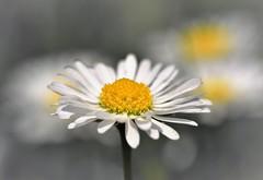 Happy Sliders Sunday (2jaysjoju) Tags: daisy flower hss happysliderssunday selectivecolour bokeh garden outdoor summer nature petals yellow white grey beautifullight weekend nikon